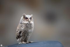 332A9388 (ChiaweiPho.) Tags: 貓頭鷹 bird owl