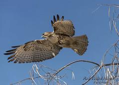 Red Tailed Hawk (R Dermo) Tags: trees flying usa outdoors nature sky desert birds hawk nikon california bird morning