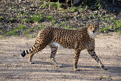 Northeast African Cheetah (Acinonyx jubatus soemmeringii) (Seventh Heaven Photography) Tags: cheetah cat wild wildlife animal nikond3200 acinonyxjubatussoemmeringii acinonyx jubatus soemmeringii chester zoo cheshire england felidae feline mammal northeast african sudan carnivore carnivorous vunerable