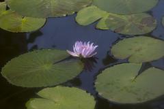 Seerose - Water lily (heinrich.hehl) Tags: natur flora wasserpflanze blume seerose blätter teich pond leaves waterlily flower waterplant nature