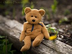 Posing - the longer shot (HTBT) (13skies) Tags: dendelion sitting posing pose teddybeartuesday barry cute outdoors wood htbt flower sony light happyteddybeartuesday
