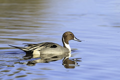 Male Northern Pintail duck (Anas acuta) (Alan Vernon.) Tags: arizona male northern pintail duck anas acuta waterfowl water bird avian nature wildlife wild birding birdwatching