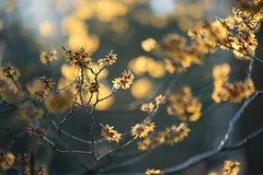 Yellow! (jillyspoon) Tags: yellow shrub light illuminated harrogate northyorkshire rhs harlowcarrgardens rhsharlowcarrgardens plant gardens backlight backlit abstract sonya7iii sony sigma1020mm sigmamc11 canon70200 branch twig
