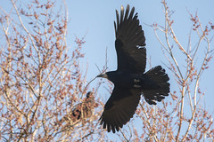 Another Stick in The Rookery (AndyNeal) Tags: animal wildlife nature essex essexwildlifetrust ewt abbertonreservoir bird rook nesting nestmaterial birdsinflight