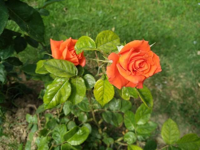 Обои Rose, Orange rose, Оранжевая роза картинки на рабочий стол, раздел цветы - скачать