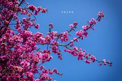 D68_4014 (brook1979) Tags: 台灣 台中 泰安 警察局 櫻花 春天 花季 粉 紫 taiwan taichung flower sakura 八重櫻