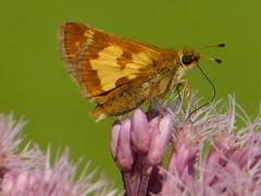 Pecks Skipper (dieter1.freier1) Tags: ecksskipper skipper brown gold butterfly insect bug small closeup summer meadow