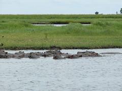 SLEEPING HIPPO (alessandra conti) Tags: wild animals botswana river nature africa
