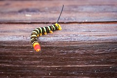 caterpillar (UAJamie1) Tags: antigua carribean island ocean tropical vacation westindies caterpillar