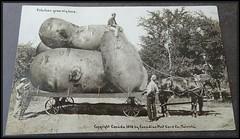 1910 Exaggeration Postcard - Potatoes Grow Big Here - Canadian Post Card Company, Toronto (Treasures from the Past) Tags: exaggeration exaggerationpostcard 1910 canadianpostcardcompanytoronto postcard
