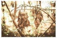 Brown Leaves in Sunlight - Mt Airy - PA_Web R_Scaled-Q (johann.kisaame) Tags: bokeh deadleaves impressionistic leaves light luminance mtairy pennsylvania philadelphia philadelphiasuburbs plants plantsnonflowers plantstrees shadows sunlight trees autumn blur ethereal fall leaf magical mystical seasons