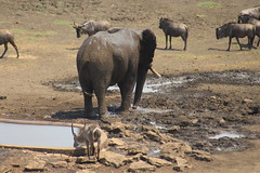 Afternoons at the Watering Hole (Rckr88) Tags: afternoons watering hole afternoonsatthewateringhole krugernationalpark southafrica kruger national park south africa water waterbuck elephant elephants wildebeest nature naturalworld outdoors wildlife