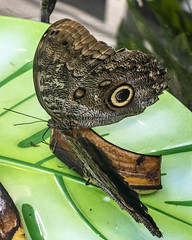 butterfly (alfredo.rossitto) Tags: butterfly insect nature wildlife