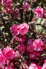 IMG_1303 (jaglazier) Tags: 122018 2018 cerrosantalucia chile december pink santalucia santiago urbanism bushes cities copyright2018jamesaglazier flowers gardens parks plants