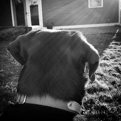 Beau (davekrovetz) Tags: monochrome iphone dogs labradors sunlight portrait