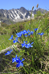 Spring Gentians (Richard Becker Photography) Tags: france french gentian gentiana orientales pyrenees pyrénées pyrénéesorientales spring springgentian alpina alpine bloom blooming blooms blue environment environmental europe european flower flowering flowers gentians mountain mountains natural nature plant plants southern temperate verna western wild wildflower wildflowers wildlife