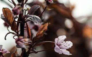 Plum blossom close-up