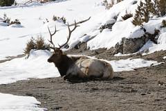 IMG_4308 (ah7925) Tags: yellowstone national park march elk bull wildlife animal snow
