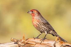 Male House Finch (gilamonster8) Tags: wood bokeh beak natuesbest sigma wildlife canon perched flickr tucson red 5dmarkiv feather urban macro ngc housefinch animal bird naturetop male arizona eos 150600mm1563dgc finch detail