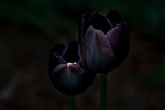 Queen of the Night (e-box 65) Tags: tulip flower dark purple black low key queen night lowkey d7200 18 105