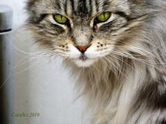 Floris. (Cajaflez) Tags: floris mainecoon raskat pedigree closeup portret portrait tomcat kater gatto chat katze kat cat pet coth5