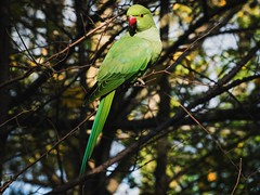 Hope you are not my colour today Happy 2019 (peggy wein) Tags: olympus branch claw tail beak feathers green parakeet tree bird