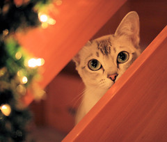 Stars in her eyes (pouncealot) Tags: cat catportrait cute canon pet petportrait pretty twinkle animal aww