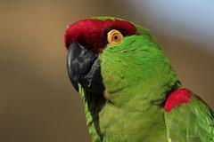 Thick-billed parrot (K.Verhulst) Tags: thickbilledparrot araparkiet ara parkiet parrot birds vogels blijdorp blijdorpzoo diergaardeblijdorp rotterdam coth5 ngc