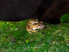 Limon Robber Frog- (Brian Eagar Nature Photography) Tags: amphibian frog limonrobberfrog pristimantis crarc costarica costaricaamphibianresearchcenter forest rain olympus60mmmacro olympus em1m2 em1mii 60mm