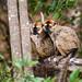 Berenty Brown Lemur (Eulemur collaris × rufifrons), males