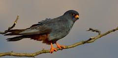 R91A9572 (chavko) Tags: jozefchavko canon flickr bird hawk chavko falco vespertinus redfooted falcon slovakia sky animal photo tree forest people