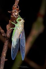 Cicadoidea sp. (Matthieu Berroneau) Tags: insect insecte borneo sabah malaysia malaisie sony alpha ff 24x36 macro nature wildlife animal fe 90 f28 g oss fe90f28macrogoss sonya7iii sonya7mk3 sonyalpha7mark3 sonyalpha7iii a7iii 7iii 7mk3 sonyilce7m3 sonyfesonyfe2890macrogoss objectifsony90mmf28macrofe sel90m28g cicadoide cigale métamorphose metamorph