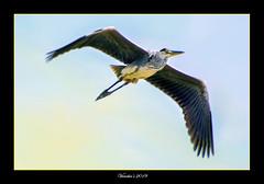In Flight (VERODAR) Tags: bird heron sky morning morninglight morningsky nikon verodar veronicasridar nationalpark nature natureandwildlife wildlife tanjungpiai