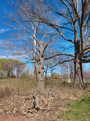 Chadwick Arboretum and Learning Gardens (dankeck) Tags: tree dead bare spring theohiostateuniversity ohiostate osu ohio columbus centralohio franklincounty
