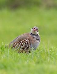 Red legged Partridge (Jims Fotos) Tags: 14extender april2019 birds eos7dmk2 ef40028l elmley nature canon