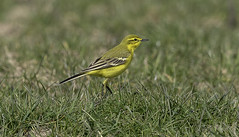 Yellow wagtail (Jims Fotos) Tags: 14extender april2019 birds eos7dmk2 ef40028l elmley nature canon