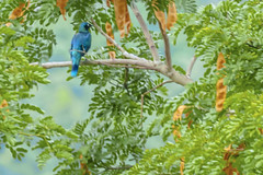 STORNO SPLENDIDO   ---   SPLENDID GLOSSY STARLING (Ezio Donati is ) Tags: uccelli birds animali animals natura nature alberi trees foresta forest westafrica costadavorio arealamto