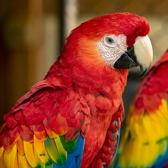 The Real Macaw (gecko47) Tags: animal bird parrot macaw scarletmacaw aremacao colourful red bright costarica sarapiqui portrait