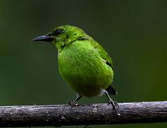 Profile of the Green Honeycreeper (female) (mharoldsewell) Tags: 150600mm 2018 d750 ecuador nikon sigma150600mmf5063hsmapodgos bird birds mharoldsewell mikesewell photos chlorophanesspiza