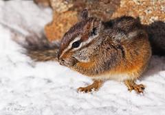 Merriam's Chipmunk (Robyn Waayers) Tags: merriam'schipmunk neotamiasmerriami tamiasmerriami chipmunk chipmunks robynwaayers