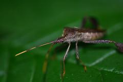 Coreidae (rdodson76) Tags: bug leaffootedbug coreidae insect nature animal wildlife macro science entomology green pest