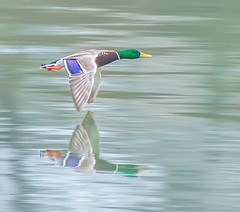Speed. (Omygodtom) Tags: wildlife abstract bird speed reflection d7100 duck mallard outside dof motion nikon70300mmvrlens