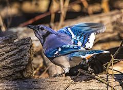 Blue Jay (will139) Tags: bluejay cyanorittacristata bird passerinebird corvidae noisy bold aggressive bossy avian ornithology wildlife wild crested blue beak animalsinthewild forest woodland