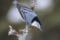 White-breasted Nuthatch (Sitta carolinensis) (stitchersue) Tags: whitebreastednuthatch nuthatch winter snow algonquinpark ontario canada birdperfect