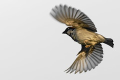 Moineau_DSC1774_DxO (jackez2010) Tags: a77mk2 a77m2 ilca77m2 sal70400g2 bif birdinflight moineau
