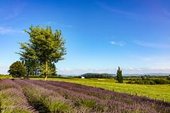 DSC04322 (Joel Carmelo) Tags: sony rx1rm2 landscape tree flowers lavander farm new zealand sunny full frame