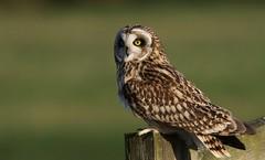 Short-eared owl ~ Asio flammeus (Cosper Wosper) Tags: shortearedowl asioflammeus somerset levels owl