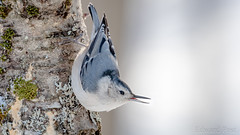 White-breasted Nuthatch (Sitta carolinensis) (ER Post) Tags: bird nuthatch whitebreastednuthatchsittacarolinensis jenison michigan unitedstatesofamerica us
