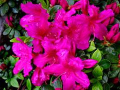 Spring is here! Enjoy! (peggyhr) Tags: peggyhr azaleas flowers spring droplets pink green dsc07190a vancouver rainbowofnaturelevel1red rainbowofnaturelevel2orange