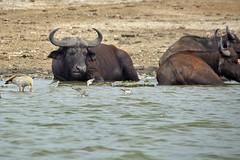 Buffalo (pbr42) Tags: africa uganda queenelizabethnationalpark nationalpark hdr water lake crater animal buffalo nature